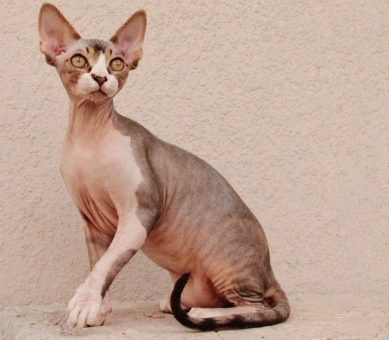 hairless cats Hairless cats 4,639 likes 17 talking about this hair why.
