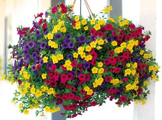 ORDERED-- Calibrachoa MiniFamous from Park Seed.: Bold Collection, Calibrachoa Minifam, Parks Seeds, Flowers Pots, Flowers Power, Annual Plants, Hanging Baskets, Bright Colors, Baskets Ideas