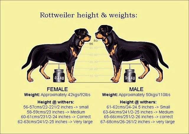 Average weight of adult rottweiler