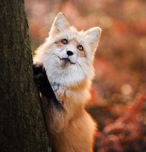 Red Fox by Iza Łysoń