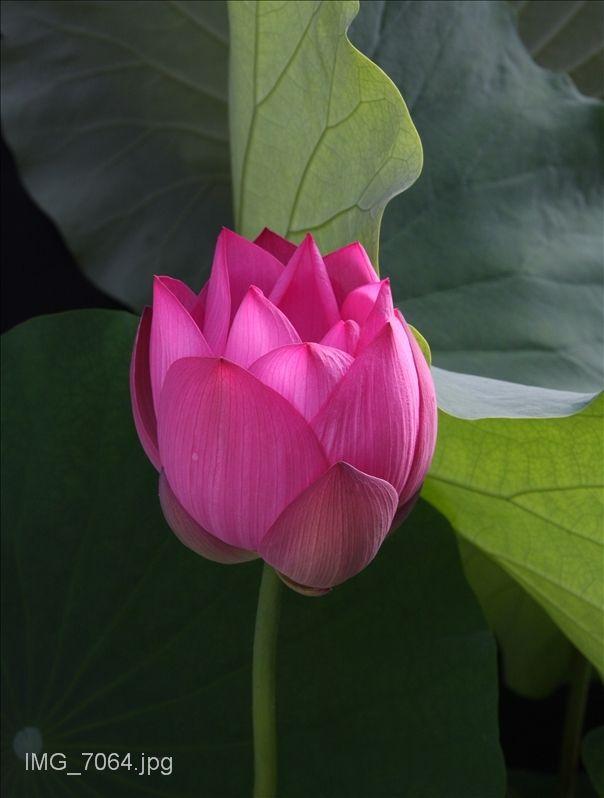 صور عالية الدقه Types Of Flowers Flowers Lotus Flower Images