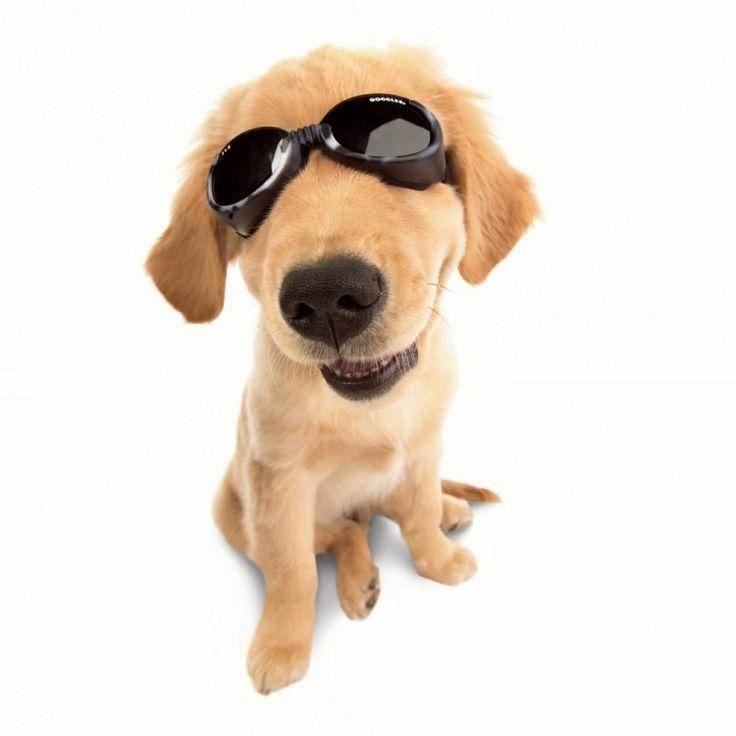 81 best Dogs with Sunglasses images on Pinterest  : 7554b8c218607b25d09ef5ac80fcb48a cat sunglasses pet dogs from www.pinterest.com size 736 x 736 jpeg 29kB
