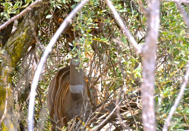 Lesser kudu hiding in the bush of Ruaha, Tanzania. #LesserKudu #RuahaNationalPark #RuahaRiverLodge #TrekkingBureauet #HenryRasmussen