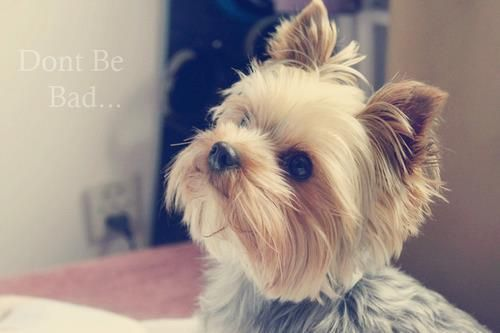 another cute yorkie