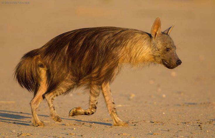 Brown hyenas have long hair.   fun funny funny pics
