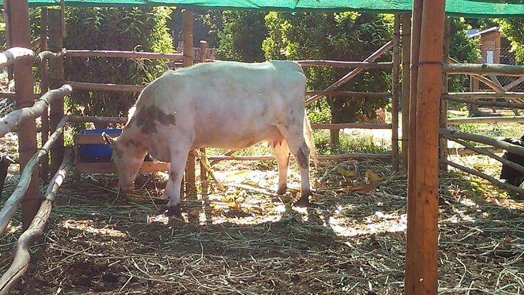 Vaca embarazada! A la semana pario un ternerito hermoso.