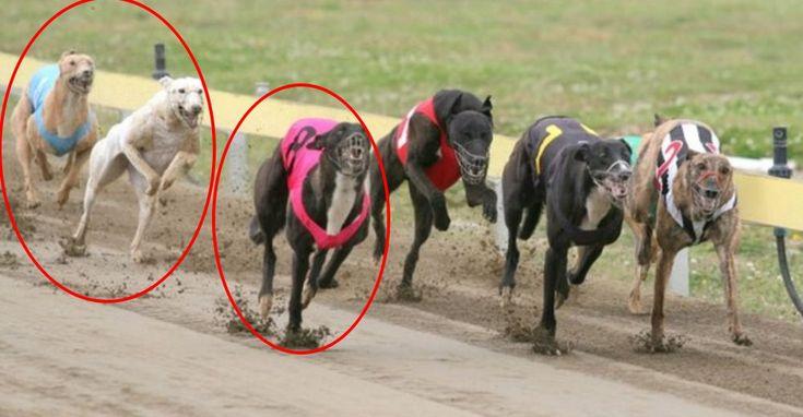 Argentina prohíbe las carreras de perros ¡Un gran aplauso por ello!