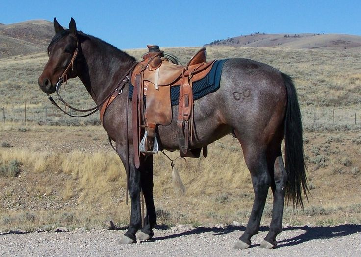 Red Roan Quarter Horse Stallion High Rolling Rimrock Munns Ranch and Three Bar Quarter Horses