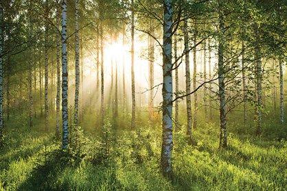 Fototapet - Forest morning mist - fototapet med træer. Morgendis og solen bryder igennem.