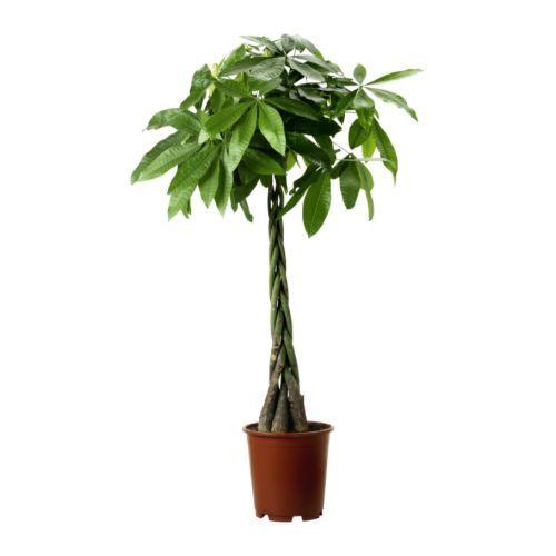 IKEA PACHIRA AQUATICA potted plant