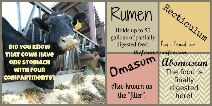 Cows only have one stomach but it has four compartments.