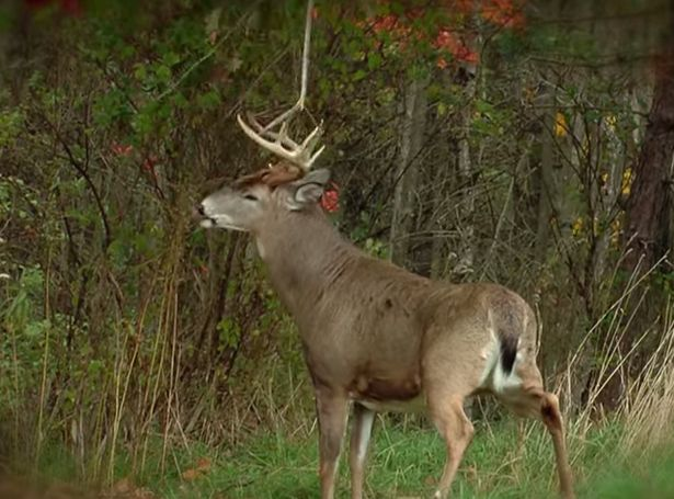Planting a mock scrape tree is one of the easiest ways to help your deer hunting and attract big bucks.