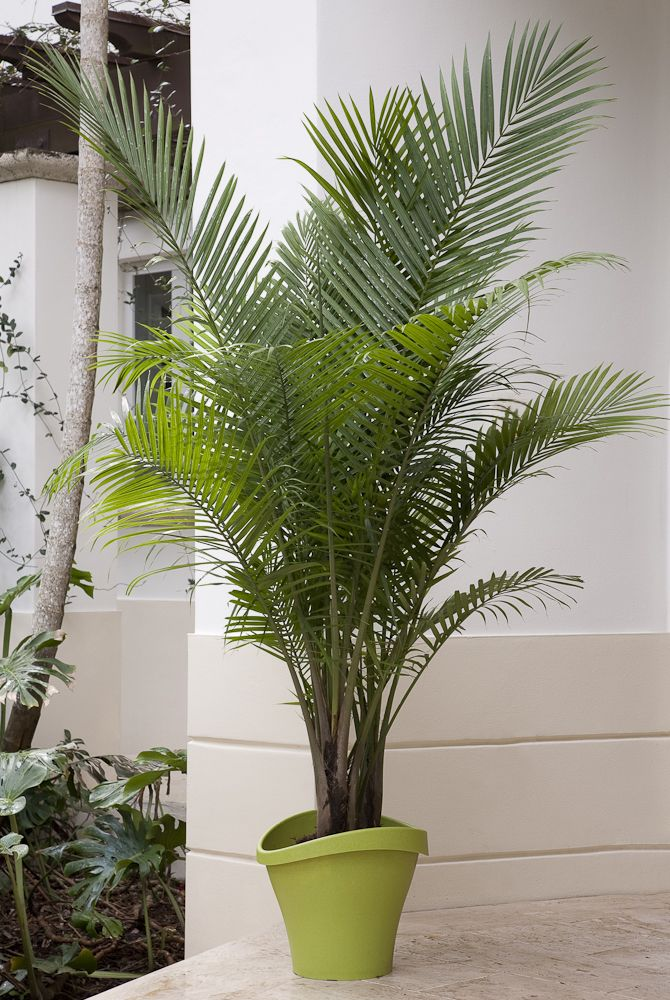 12 best palm tastic patios images on pinterest for Easy care large indoor plants