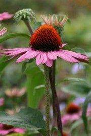 Echinacea purpurea (Zonnehoed) | VASTE PLANTEN | Tuinplanten stekplek