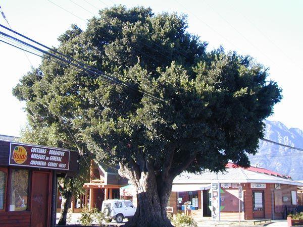 Peumus boldus | Trees | Patagonia Plants