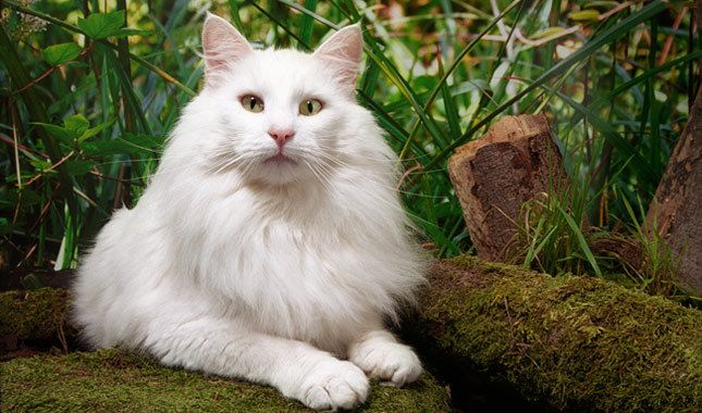 Fluffy cat breeds are some of the most popular, furry cats can be found in white, black, grey and even Siamese coloring Seriously, what is it about fluffy cat breeds that make them so darn gorgeous? Maybe it's the aesthetics of an adorable face attached to a poofy ball of fur.