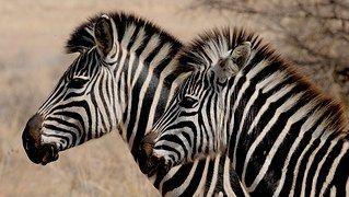 Zebra, Wild Animal, Africa, Stripes