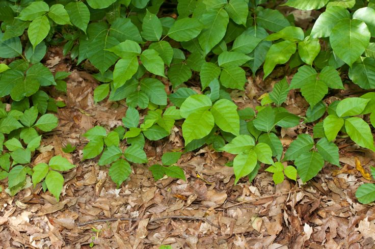 Homemade and natural remedies for poison ivy, oak, and sumac