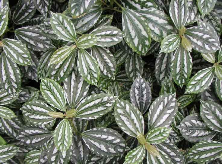 Aluminum plant pilea cadierei gardening pinterest for Plante pilea