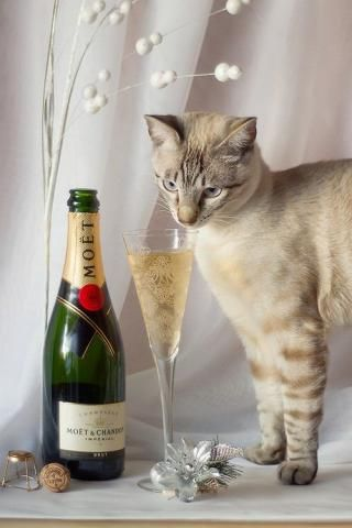 PetsLady's Pick: Elegant New Year's Eve Cat Of The Day...see more at PetsLady.com -The FUN site for Animal Lovers