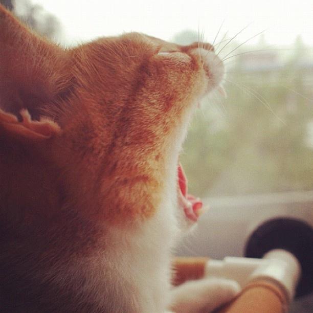 #CheeseCat #Suni #koreanshorthair #cat #cats #catsofinstagram #kitten #고양이 #냥이 #ねこ #猫 #kittiesofinstagram #catale #catoftheday #photooftheday #instacat #cute #catstagram #neko - @a_pictory- #webstagram: Koreanshorthair Cat, Kittiesofinstagram Catal, Cheesecat Suni, Catstagram Neko, Catal Catoftheday, Catsofinstagram Kittens, Photooftheday Instacat, Cat Catsofinstagram, Catoftheday Photooftheday
