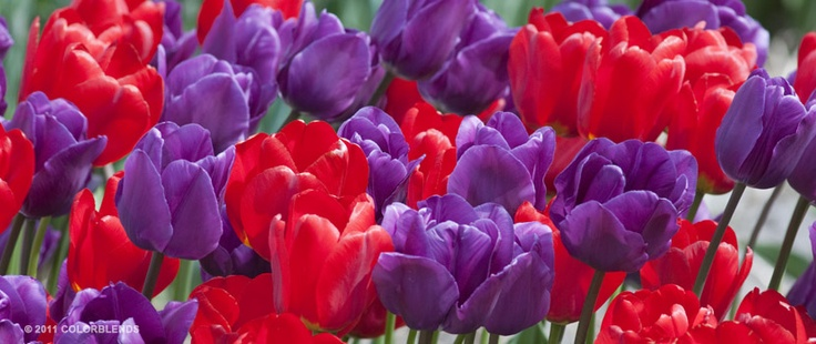 Tulip Crusaders ® | Colorblends of Tulips Bulbs for Sale | COLORBLENDS