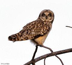 Coruja do Nabal (Asio flammeus) (Fernando Delgado) Tags: shortearedowl coruja corujadonabal riaformosa ludo parquenaturaldariaformosa owl asioflammeus predadores predator birds aves ave