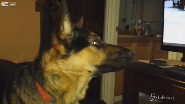 Una gara di cani da slitta passa sullo schermo della televisione americana. All'improvviso un abbaio, e poi un altro: è il cane Icarus che pare decisamente interessato alla competizione.