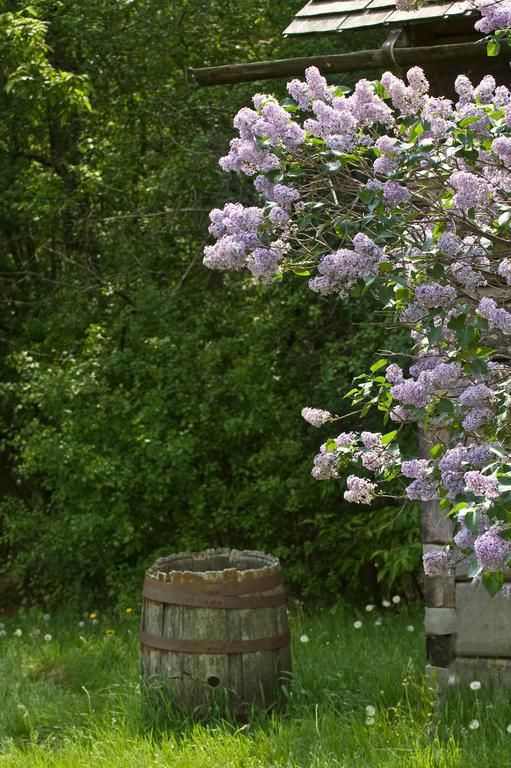 rain barrel: Lilacs Barrels, Barrels So, Rain Barrels, Country Gardens, Barrels Hornbeans Buckets, Lilacs Life, Blossoms Www Digiwriting Com, Country Life, Lilacs Rain