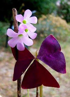 Plantas de regalo: Planta del Trebol Morado...