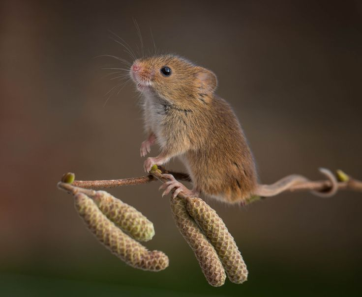 Photo Harvest Mouse by Paul Tymon on 500px
