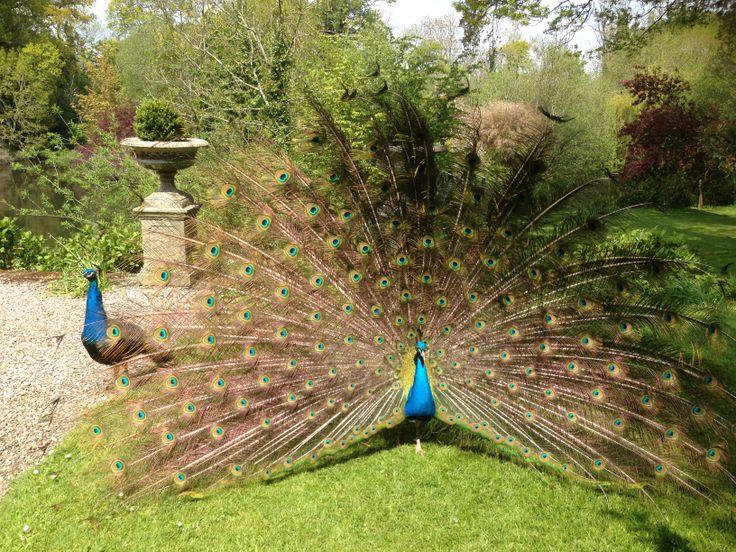 Peacocks in the gardens of Marlfield House Luxury Hotel in Wexford, Ireland