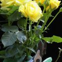Poda de los rosales - Bricomanía