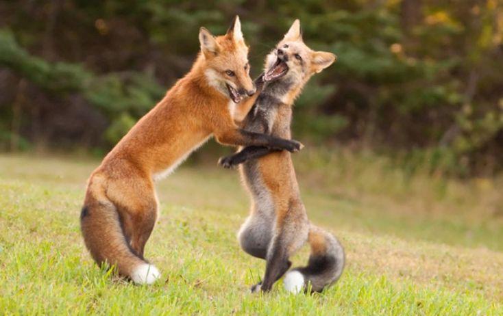 Foto: Let's dance! auch Füchse spielen ausgelassen miteinander. Eigentlich gehören Füchse zu den Hunden und genau so können sie sich verhalten, wenn sie als Welpe in einer Familie aufwachsen. Dann gehen sie sogar an der Leine spazieren und machen sich genau so wie der Haushund über das Trockenfutter her. Marexa