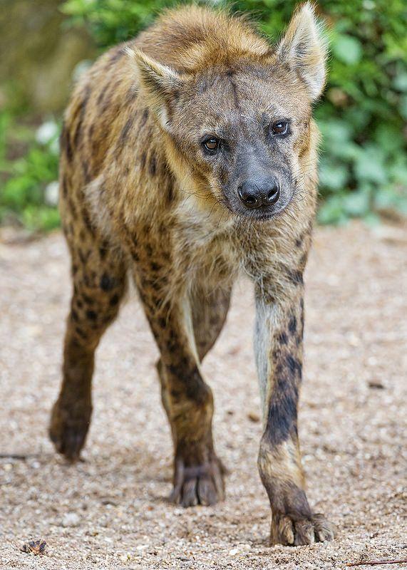 Walking hyena