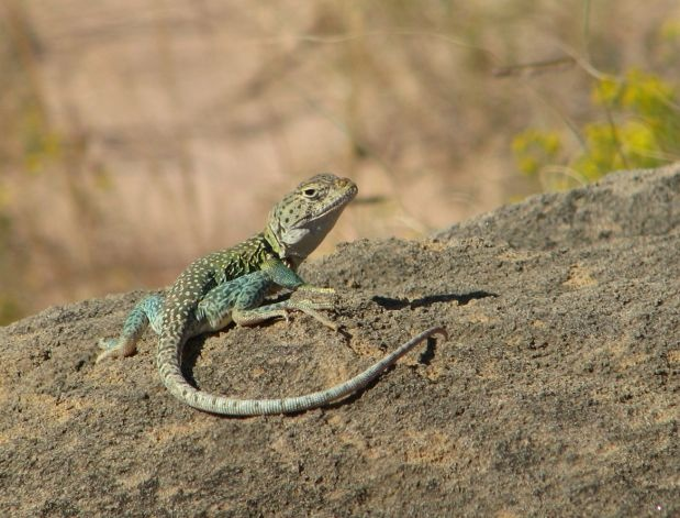 A colorful lizard basks in the sun on a rock in the canyon. KATHLEEN SCOTT / SPECIAL TO THE EXPRESS-NEWS