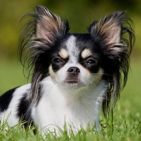 long haired chihuahua dog breed - The Super Cute Chihuahua Dog ...