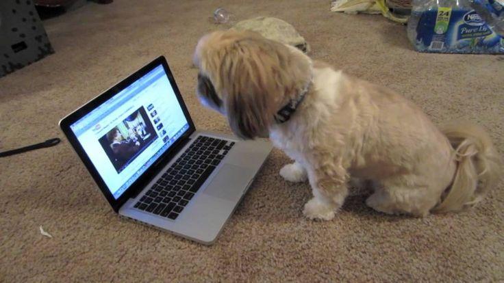 Singing Shih Tzu   The Animal Rescue Site Blog