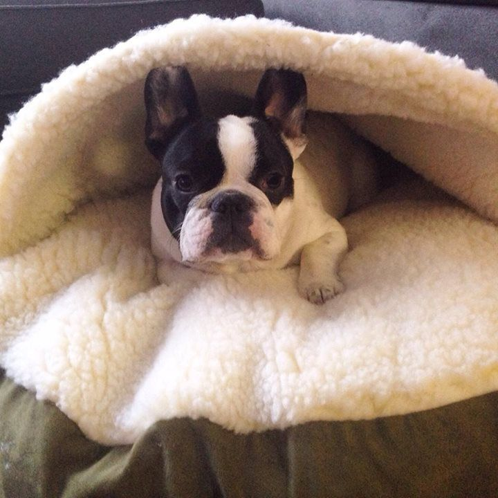 bed beds up best pooch boston dog your cozy cave for terriers in dogbook the cozycave snuggle