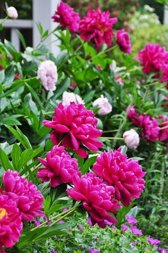 Peonys come back every year, bloom in spring, they do well in full sun and well-drained soil. After its stunning bloom, the peony's bushy clump of handsome glossy green leaves lasts all summer, and then turns purplish or gold in the fall, as stately and dignified as any shrub. Plant peonies in the fall: in late September and October in most of the country, and even later in the South.