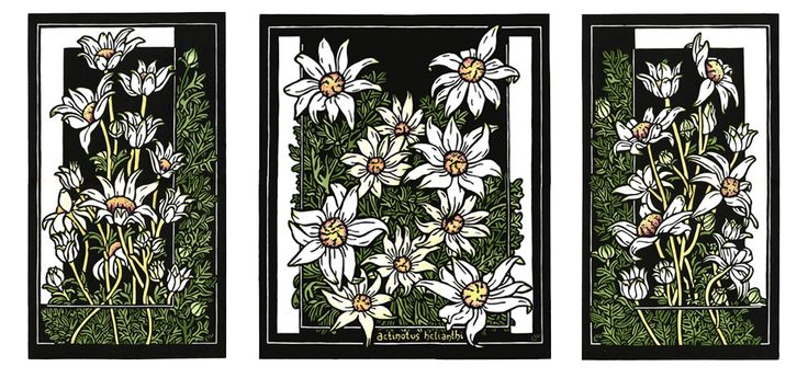 Flannel Flower Tryptich - Limited Edition Handcoloured Linocut by Lynette Weir  lynetteweir.com