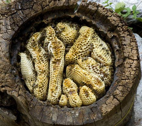 L'arbre aux abeilles - Ruche tronc et abeille noire - Galerie Photos