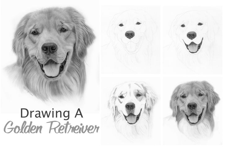 Drawing A Golden Retriever Animals Pinterest Draw Drawing