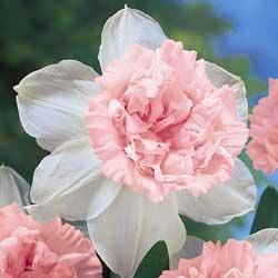 "Rosy Cloud Daffodil: Soon after opening with a creamy-yellow cup, Rosy Cloud turns into one of the world�s finest pink double daffodils. Creamy-white outer petals set off the 4-5"" double pink cup. Fragrant and long lasting."