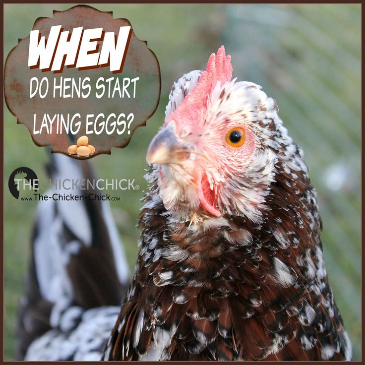 When Will A Hen Begin Laying Eggs Watch For The Submissive Squat Chicken