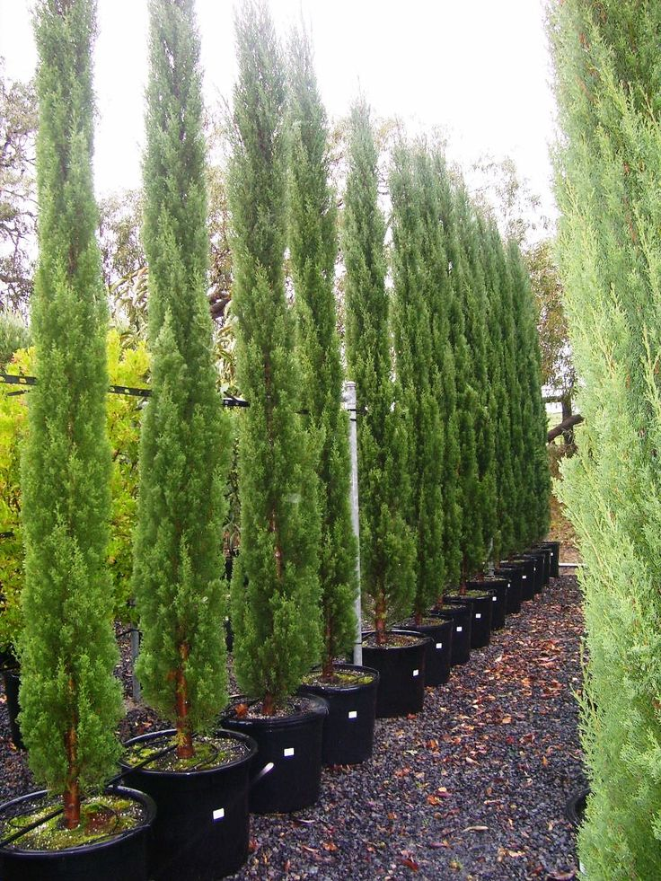 Cupressus sempervirens 'glauca' / Italian Pencil Pine / Library − Speciality Trees