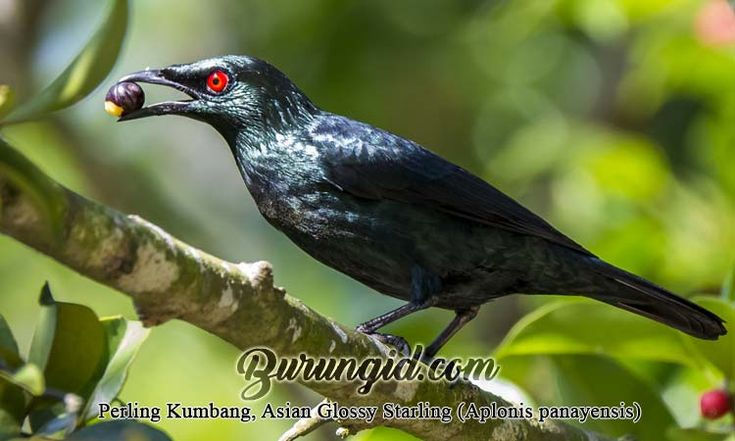 Cara Membedakan Kelamin Cucak Keling Jantan Dan Betina Betina Burung Habitat