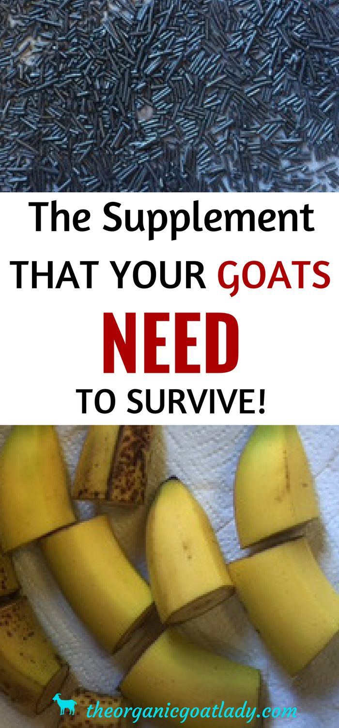This supplement is essential for goat health! And this is the easiest way to give it to them!