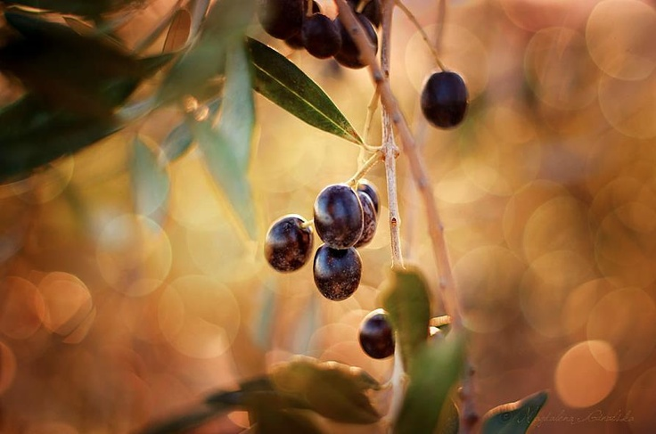 OLIVE    Dreams to come to Tuscany?  Click LIKE on page www.facebook.com/amazingtuscany   You could... pinned with Pinvolve