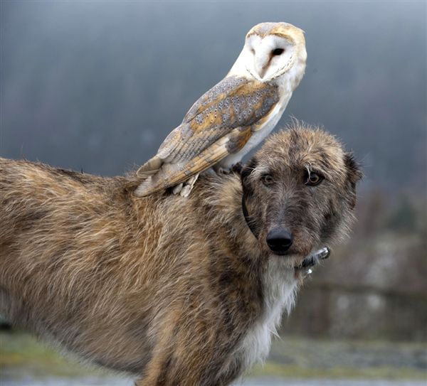 Willow the barn owl and Merlin the lurcher go for walks together in North Wales.  (Andrew Price / Rex USA)